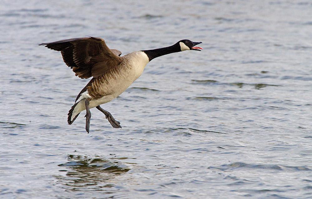 Canadian goose landing